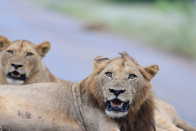 lion-family-in-the-wilderness